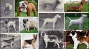 El deterioro de los perros de raza después de un siglo