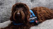 Conozcan a Brownie, un perro de terapia que acompaña a niños en momentos claves