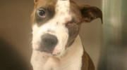 Perdió un ojo la perra baleada por policía de EE.UU