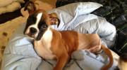 Perro boxer de dos patas furor en la web